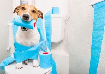 Como ensinar o seu cachorro a fazer as necessidades no lugar certo