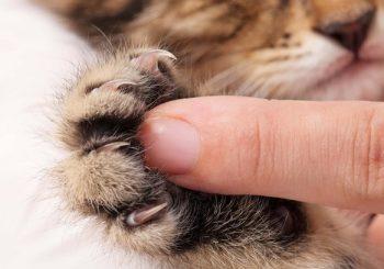 Protetores para unha dos gatos são seguros?